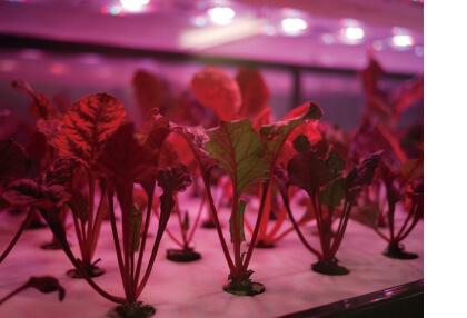 環境管理された人工光(LED光)の植物工場で育てています