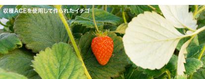 収穫ACEを使用して作られたイチゴ