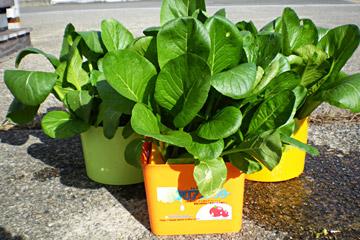 栽培例:小松菜