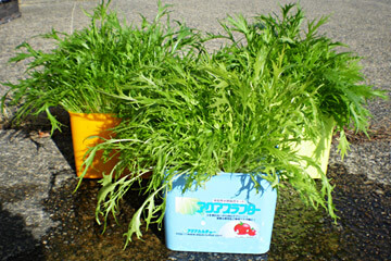 栽培例:水菜